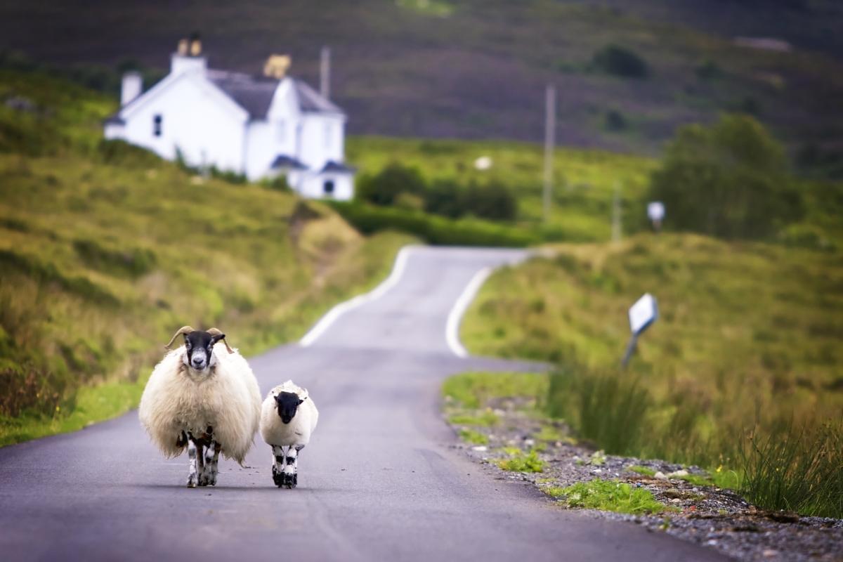 Optimized-Sheep_country_road.jpg