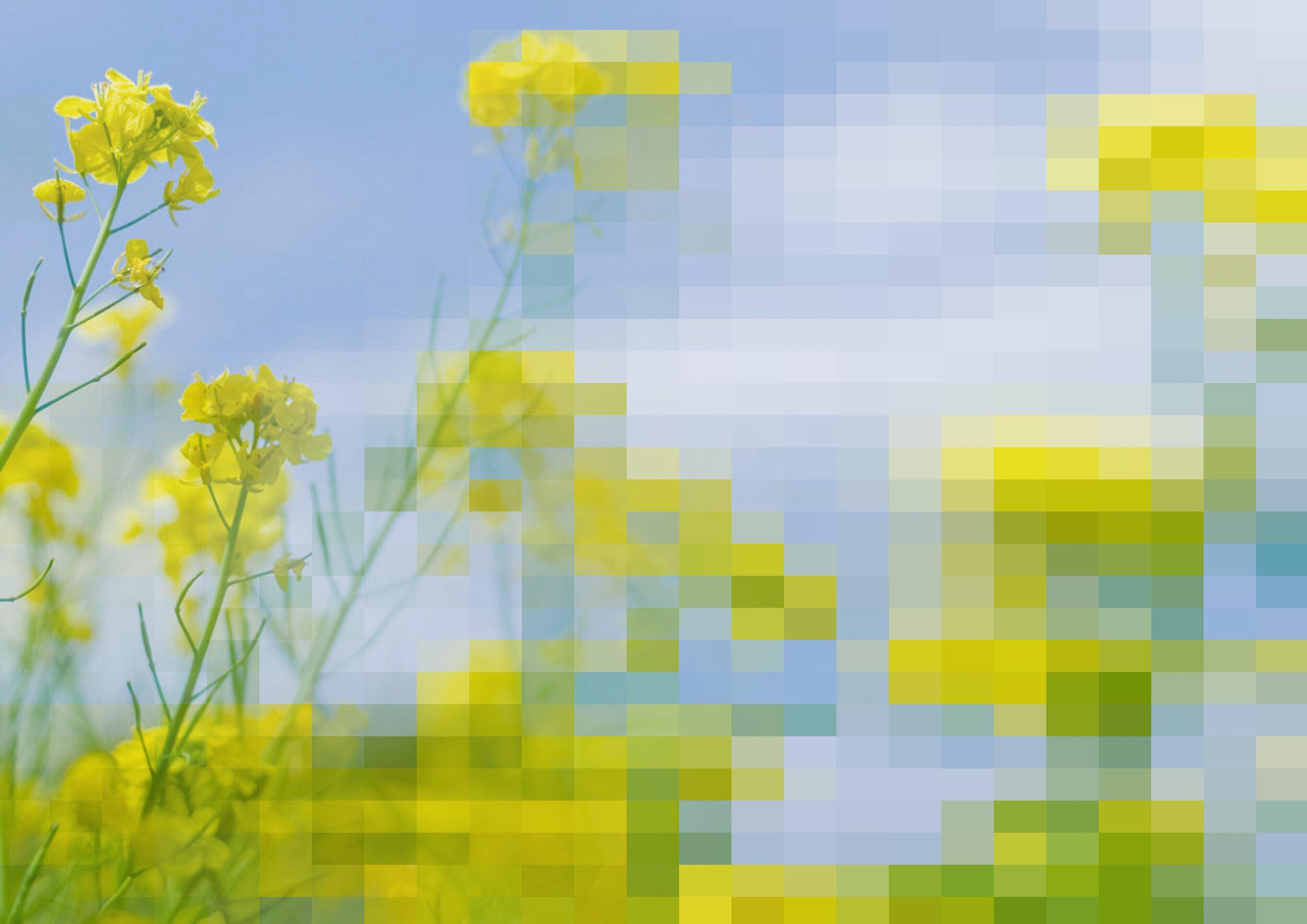 Rape_blossoms_field_abstract-2-2.JPG