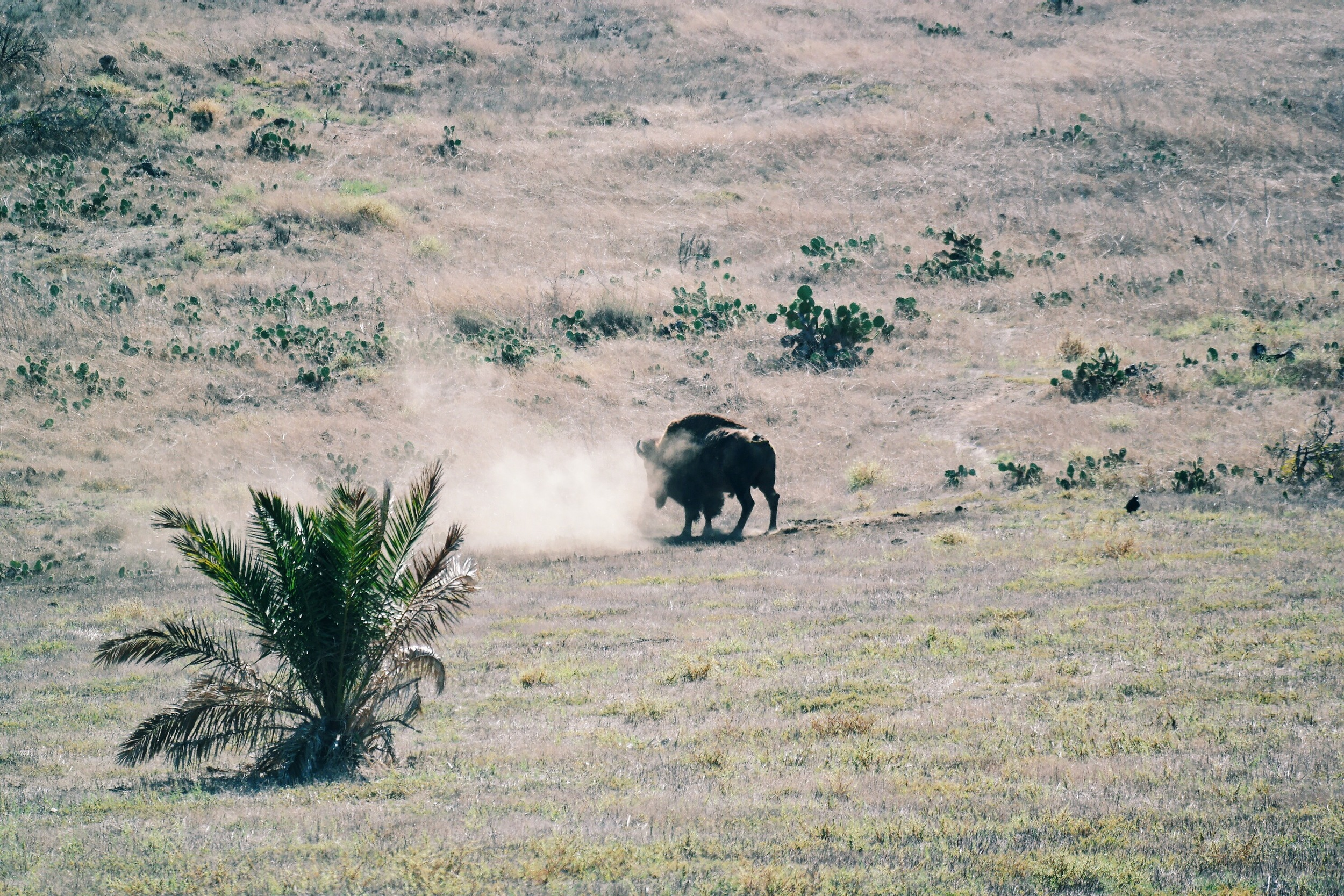 Did you know there isprotected herd of Bison on the Island? Snapped this one wandering the hillside near Two Harbors.