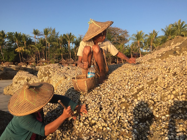 Women harvest the oysters in the afternoon at low tide