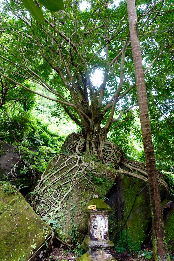 The roots of ancient trees grow and weave themselves around the centuries-old buildings in the Lao forested mountain of Wat Phu. Built 1,000 years ago, the Khmer empire ruins have withstoodthe centuries of humidity, rain, civilisation, war, and even the jungle | Eat Drink Laos http://eatdrinklaos.com/blog/southern-laos-wat-phu