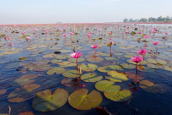 Thailand: Red Lotus Lake | Eat Drink Laos https://eatdrinklaos.com/blog/thailand-red-lotus-lake Hop aboard a boat out to see a great natural wonder - the wild blooms of millions of red lotus flowers across a lake