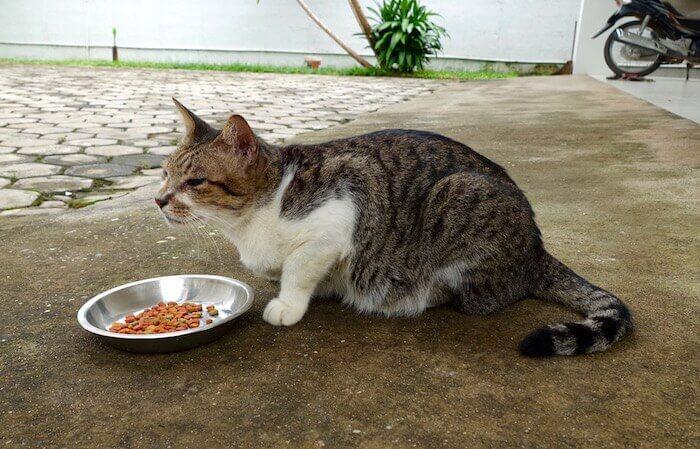 eatdrinklaos-vientiane-cat-menagerie-shy