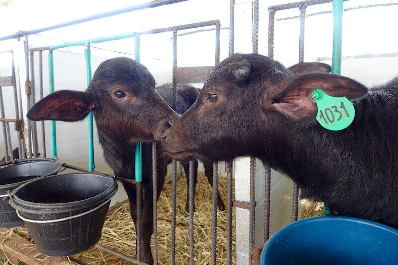 eatdrinklaos-luang-prabang-buffalo-dairy-calves