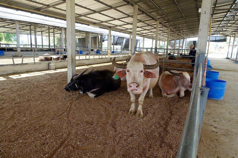 eatdrinklaos-luang-prabang-buffalo-dairy-bulls