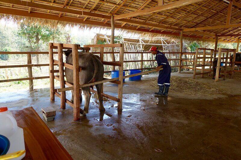 eatdrinklaos-luang-prabang-buffalo-dairy-milking