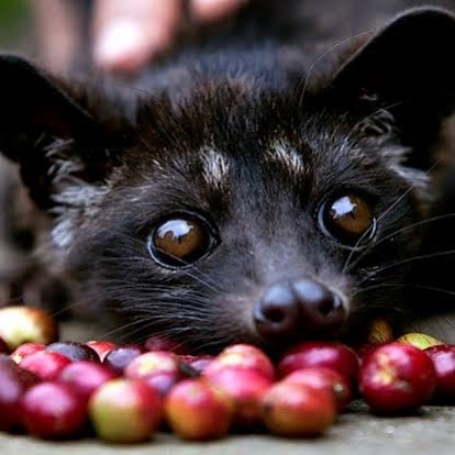 "Cuteness itself. This is a civet, which I'm honoring for International Coffee Day. The ""world's most expensive coffee"", kopi luwak - is@made from civet poop in Indonesia. Yes, it really is made via civets and their poop. Yes, it's very expensive.  Unsurprisingly, its popularity has led to horrible animal cruelty. Do these sweet little animals a favour and don't drink it. Drink speciality coffee from regular farmers who have been paid a decent wage. Enjoy ☕️ #civet #internationalcoffeeday #coffee #civetcoffeebeans #kopiluwak #animalwelfare #deforestation #wildlife #animalrights #wildlifetourism"