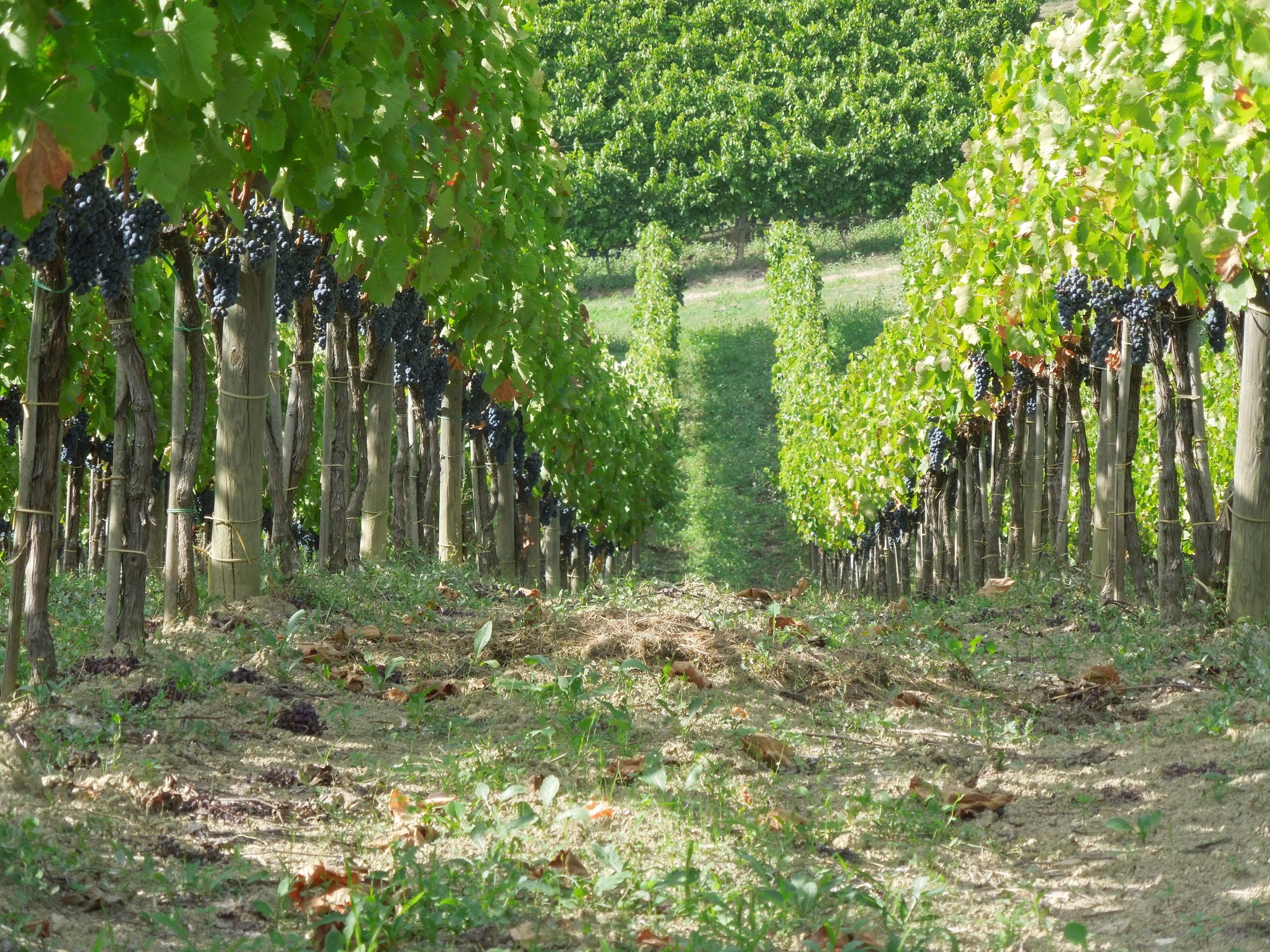 Quintodecimo vines