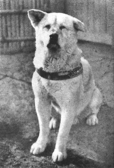 Hachiko, waiting faithfully