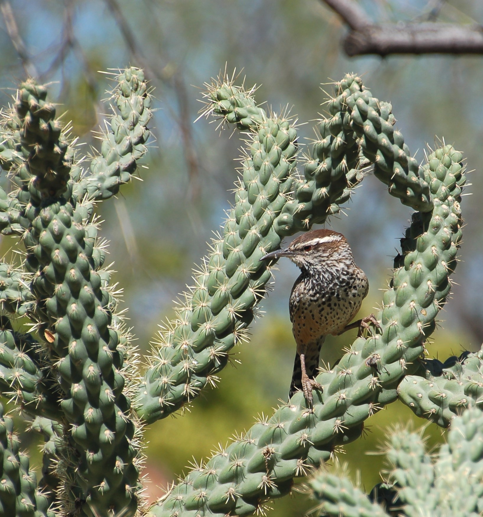 Cactus Wren, Arizona State Bird taken at the Botanical Garden