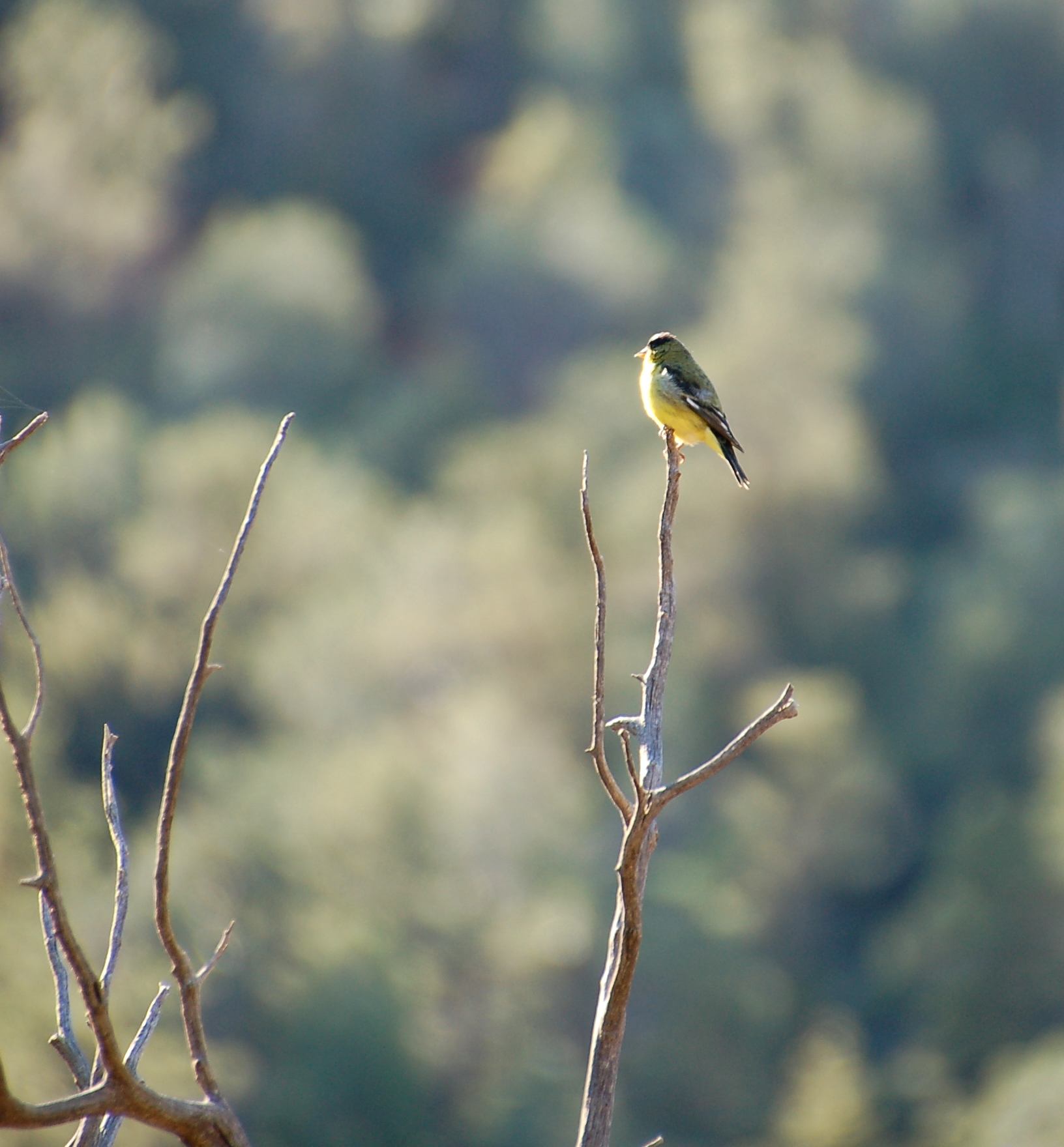 Goldfinch in the morning sun in Sedona