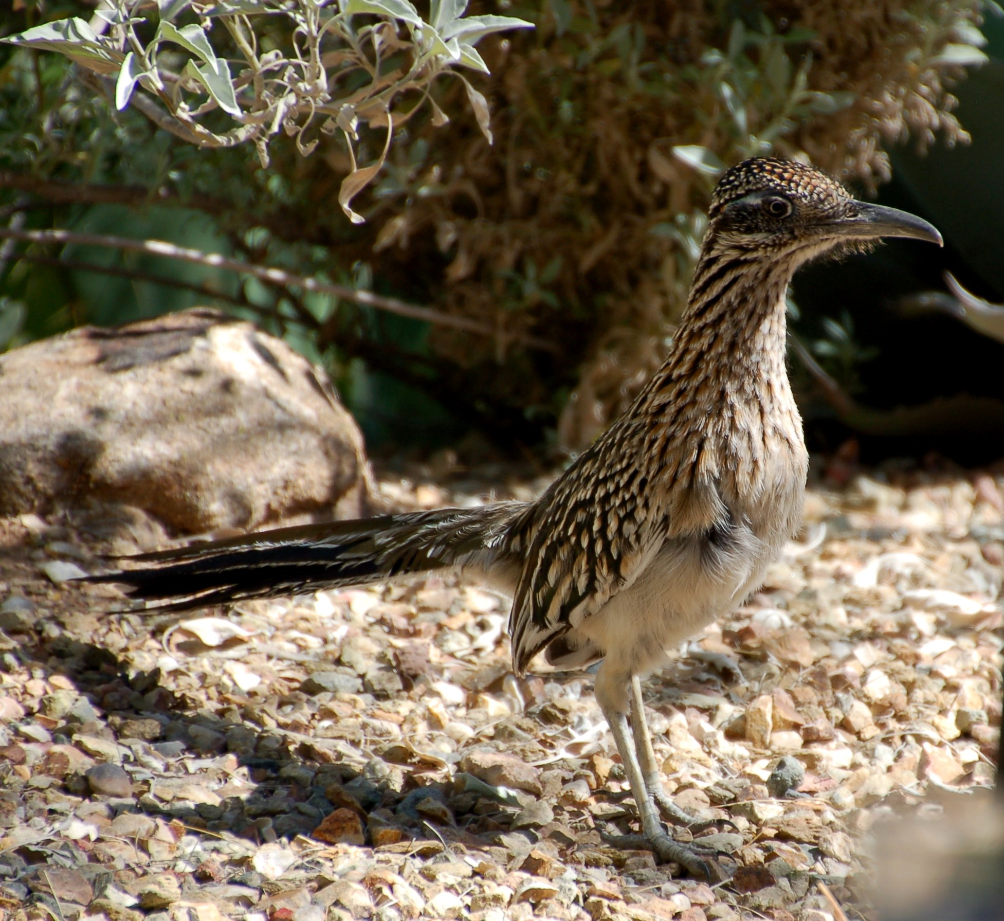 A visit from the tourist friendly Roadrunner at Gertrude's restaurant