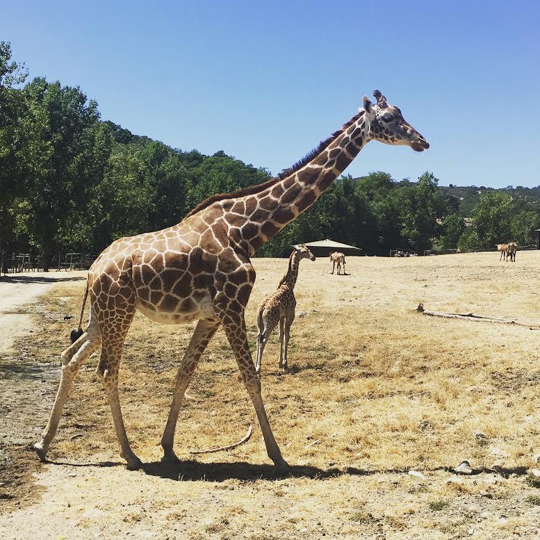 insta giraffe.jpg