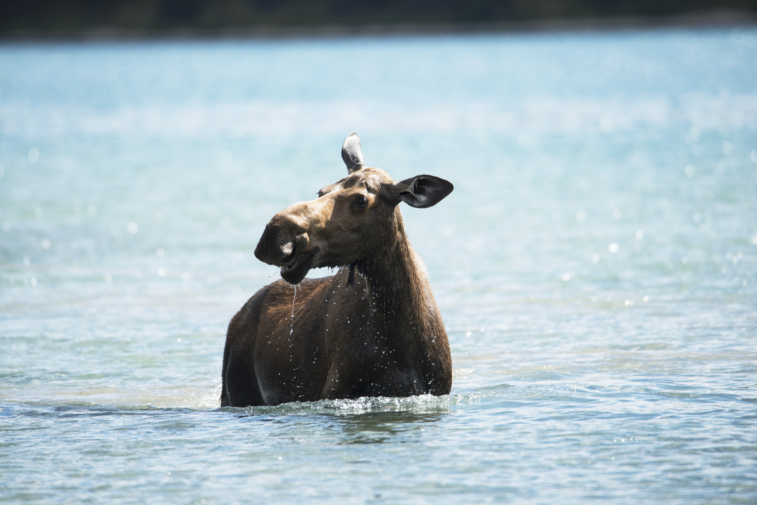 Moose Splashing Around in Maligne Lake in Alberta.jpg