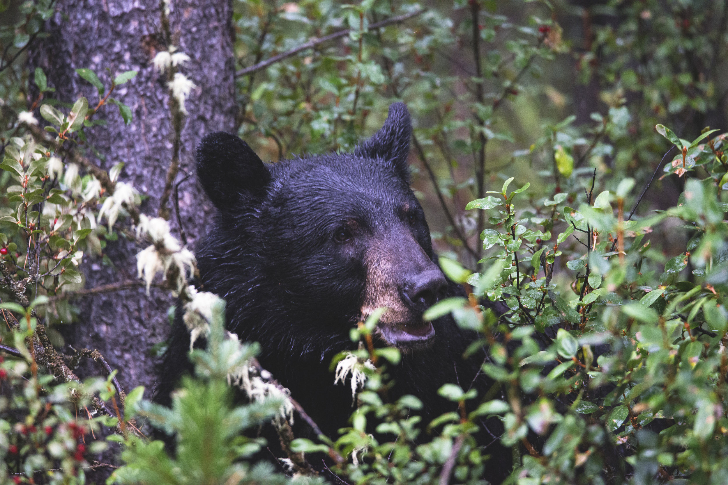 Black Bear in Alberta.jpg