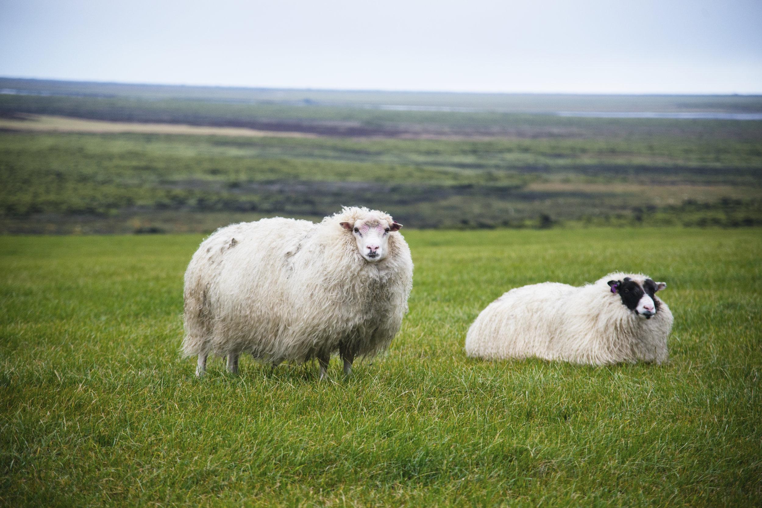 2 Sheep in a Field in Iceland.jpg
