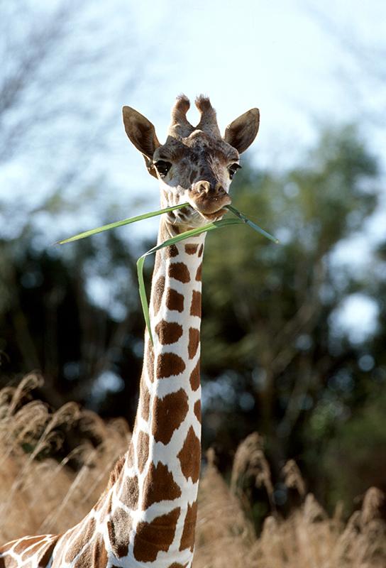 Giraffe at Disney's Animal Kingdom