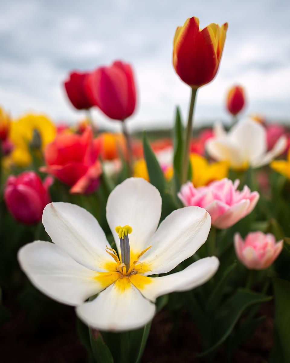 Bursting Tulips