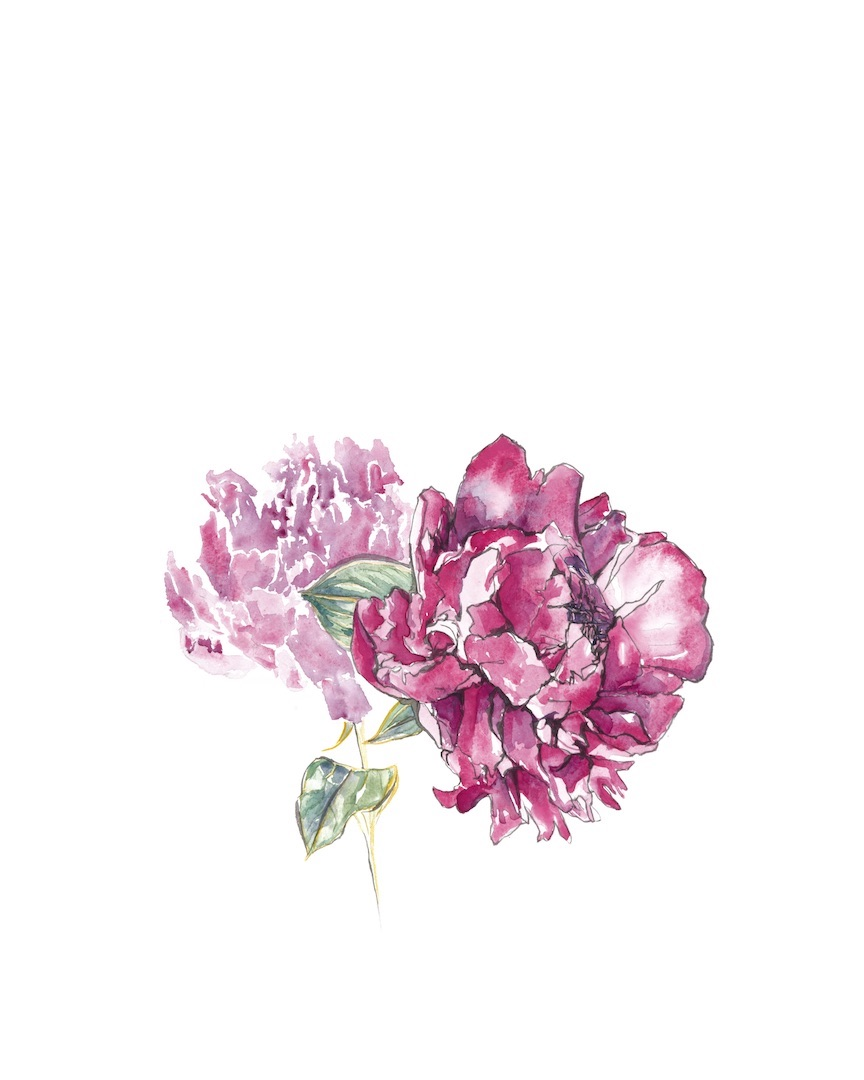 """Peony [16x20"""" - $95]  giclee print of an original 16x20"""" sumi ink and watercolor painting of a backyard peony."""