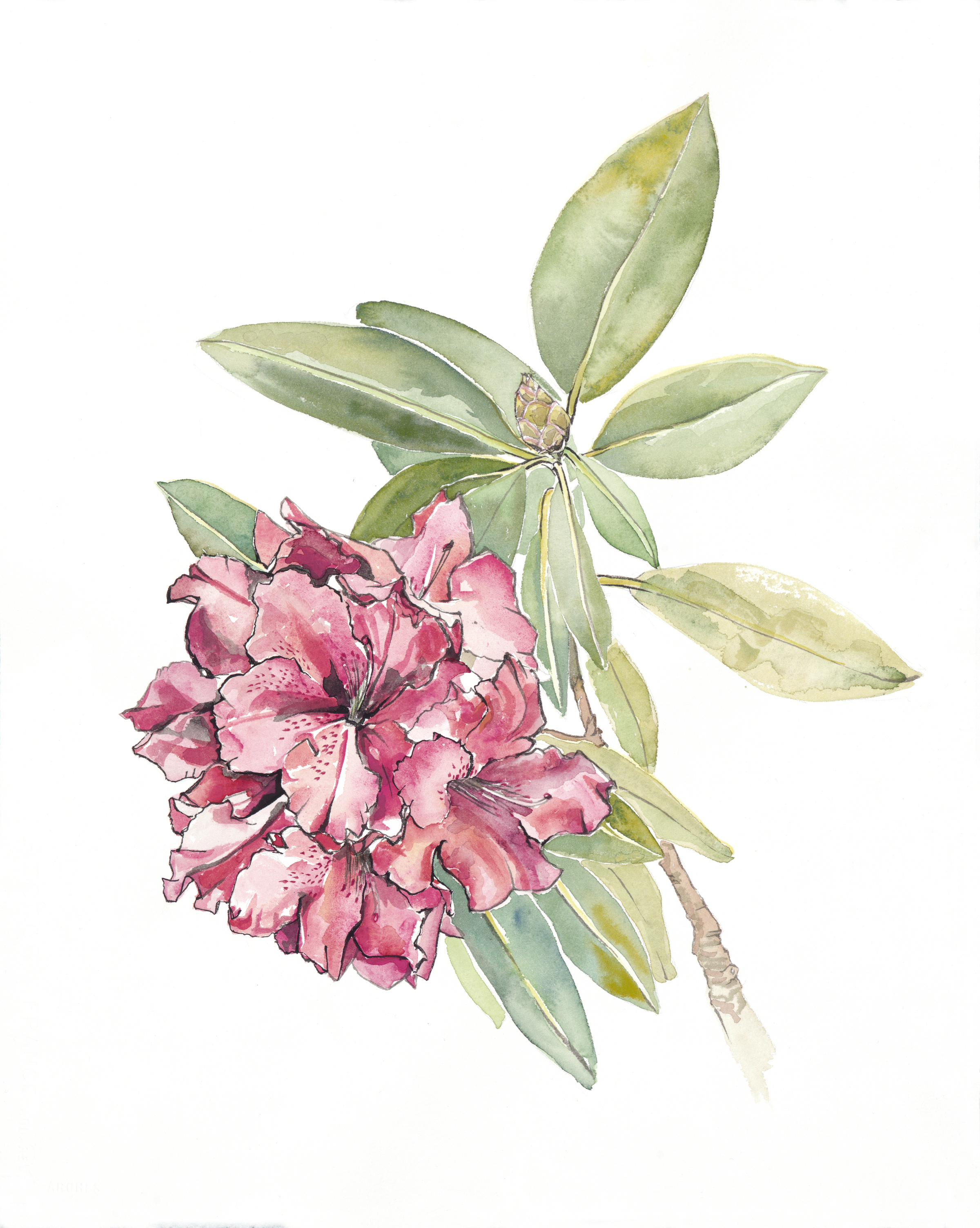 "Rhododendron [16x20"" - $95]  giclee print of an original 16x20"" sumi ink and watercolor painting featuring a front yard peony."
