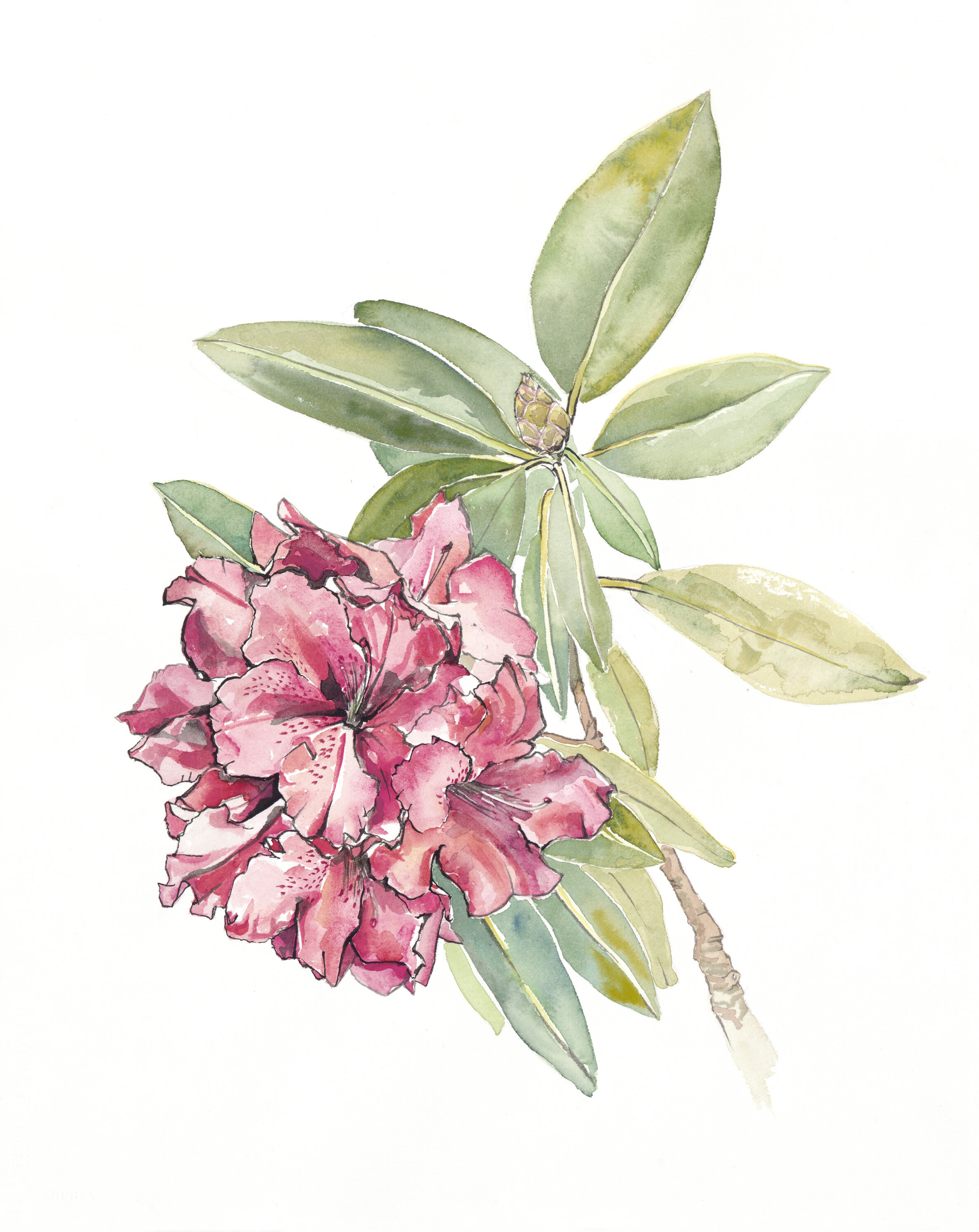 Rhododendron_s.jpg