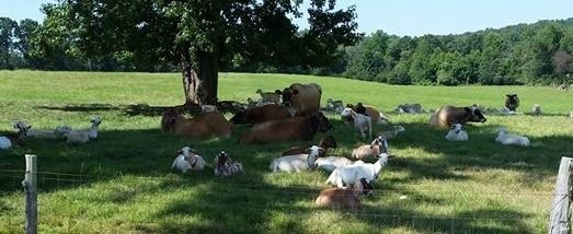 Grass fed cows and goats living the good life on pasture at H & H Dairy Farms.