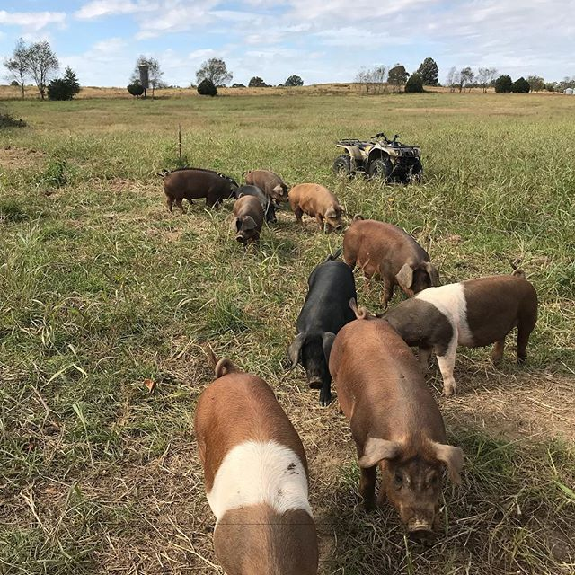 Marmilu fall hogs enjoying the cool days, stockpiled pastures, and a visit from their favorite farmer who brings them leftover cow's 🥛 and various other treats. Best time of the year to be a farmer in the South! #duckseasonstartssoon #winterstockpile #pasturedpork #fallishere #bacon