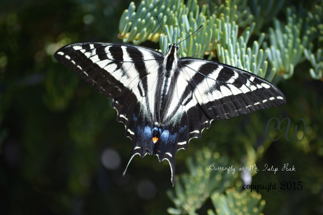 Butterfly (tiger swallowtail)