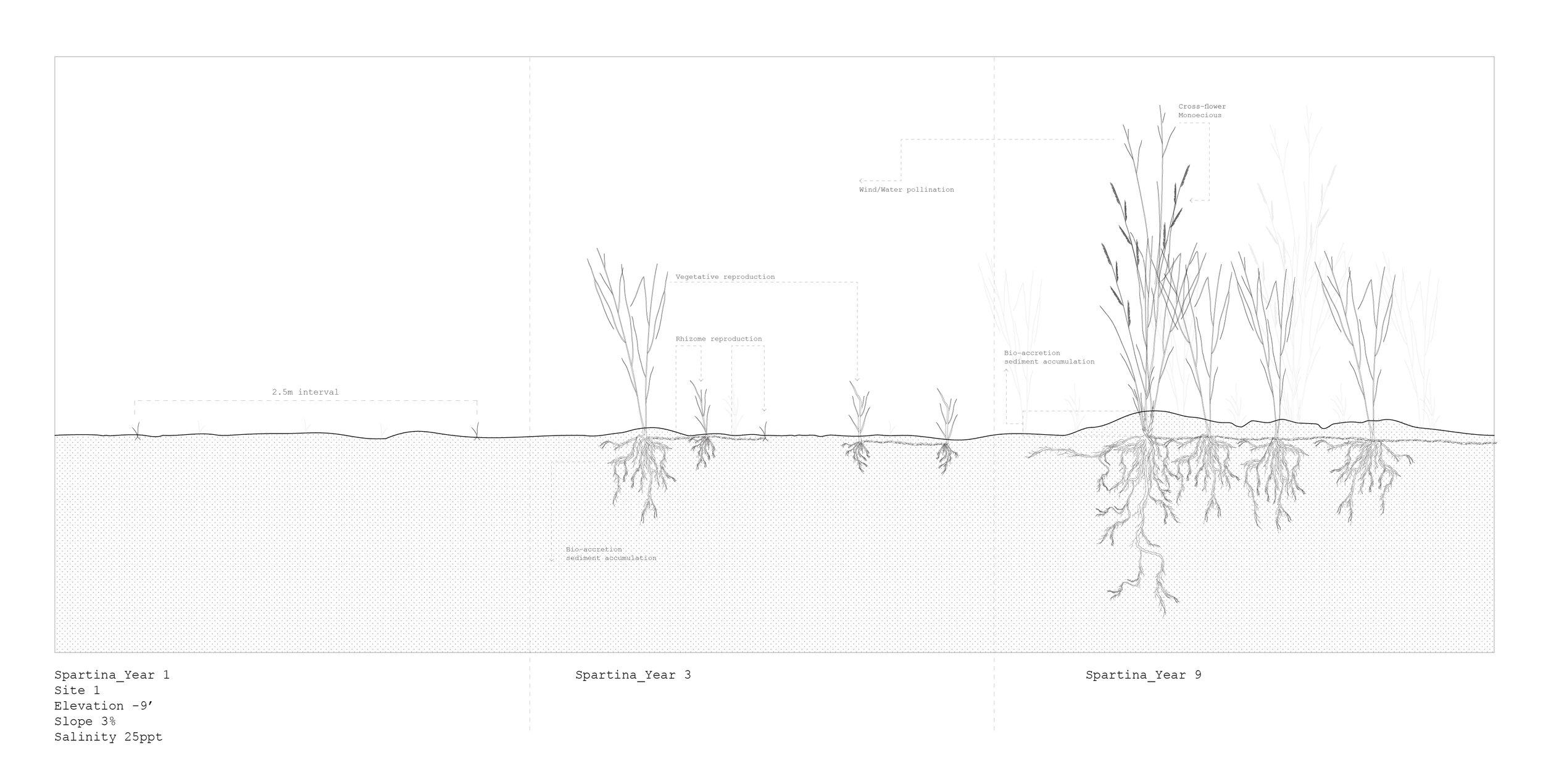 Spartina Alterniflora, Growth Analysis