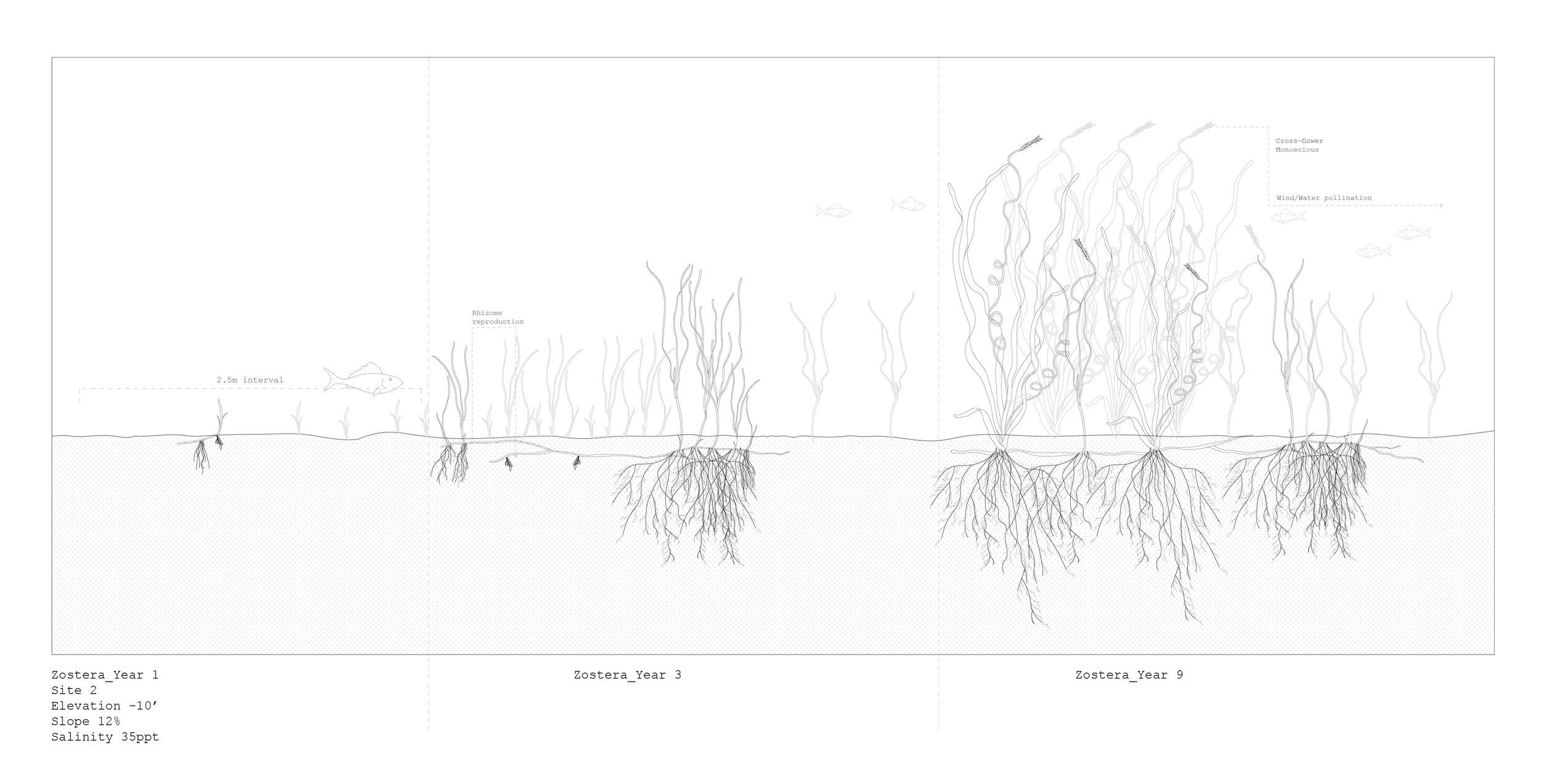 Zostera Marina, Growth Analysis