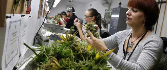 12/27/13, employee L. Herzog trims away leaves from pot plants, harvesting the plant's buds to be packaged and sold at  Medicine Man  marijuana dispensary. | Photo: ASSOCIATED PRESS