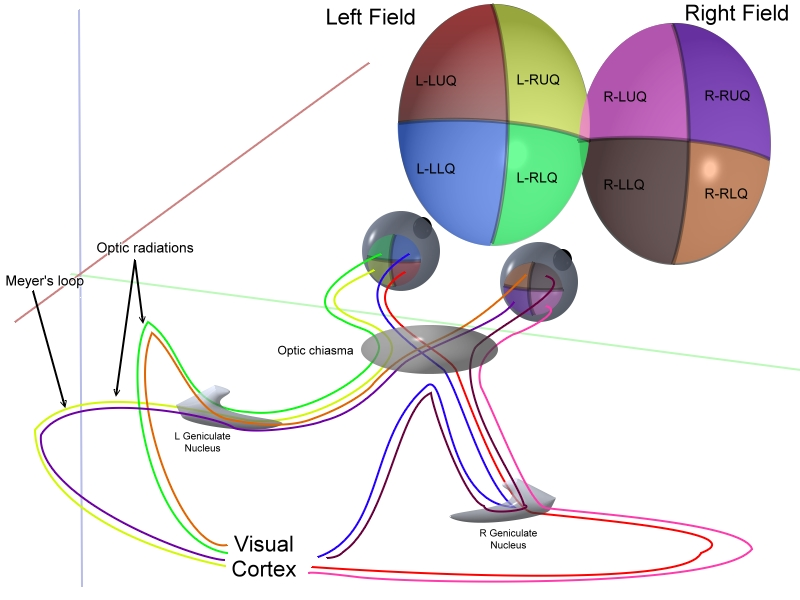 "From Wikimedia Commons: ""This image schematically represents optic pathways from each of the 4 quadrants of view for both eyes simultaneously. It is a pseudo-3D image based on several 2D text book descriptions. I have combined these to represent both sagittal and coronal planes in one image. The graphical work is entirely my own work."" (Ratznium)"