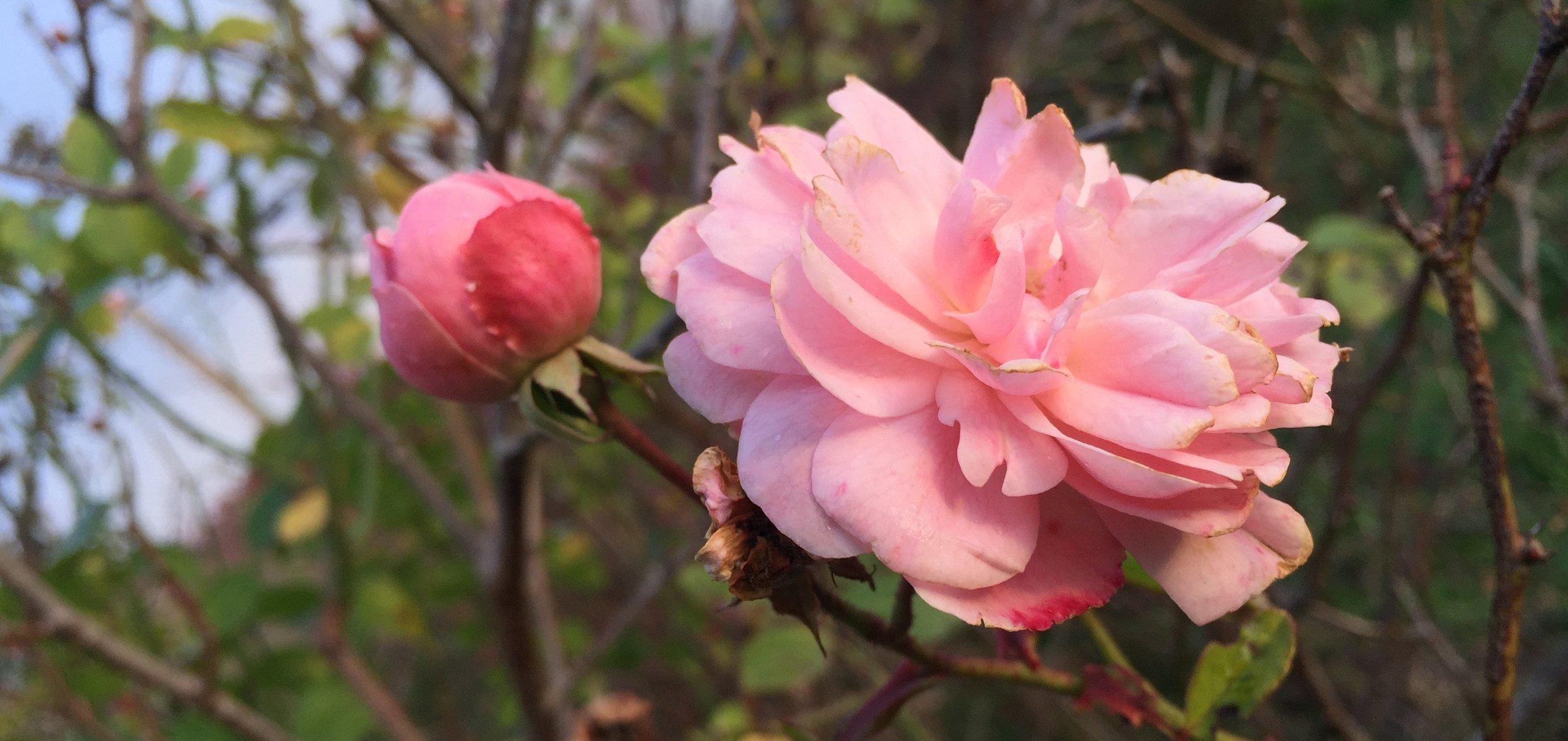 2 roses.jpg