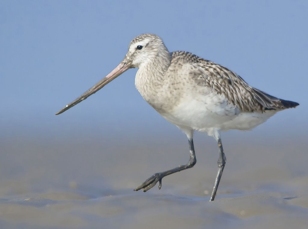"The bar-tailed godwit (photo by Dhaval Vargiya). ""Its migration includes the longest known non-stop flight of any bird and also the longest journey without pausing to feed by any animal."" From Wikipedia."