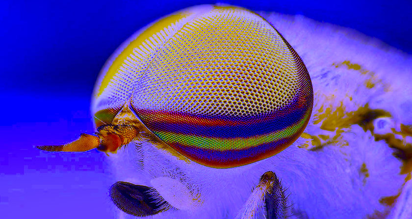 Male Striped Horse Fly (Tabanus lineola), Uploaded by ComputerHotline,  Author Thomas Shahan (Wikimedia Commons; cropped and coloured by RYC)