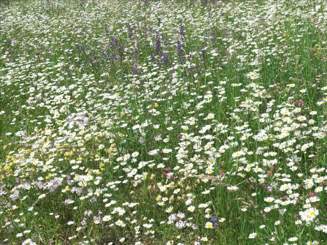 Figure 3. Newly seeded semi-natural grassland, dominated by oxeye daisy ( Leucanthemum vulgare  agg.)