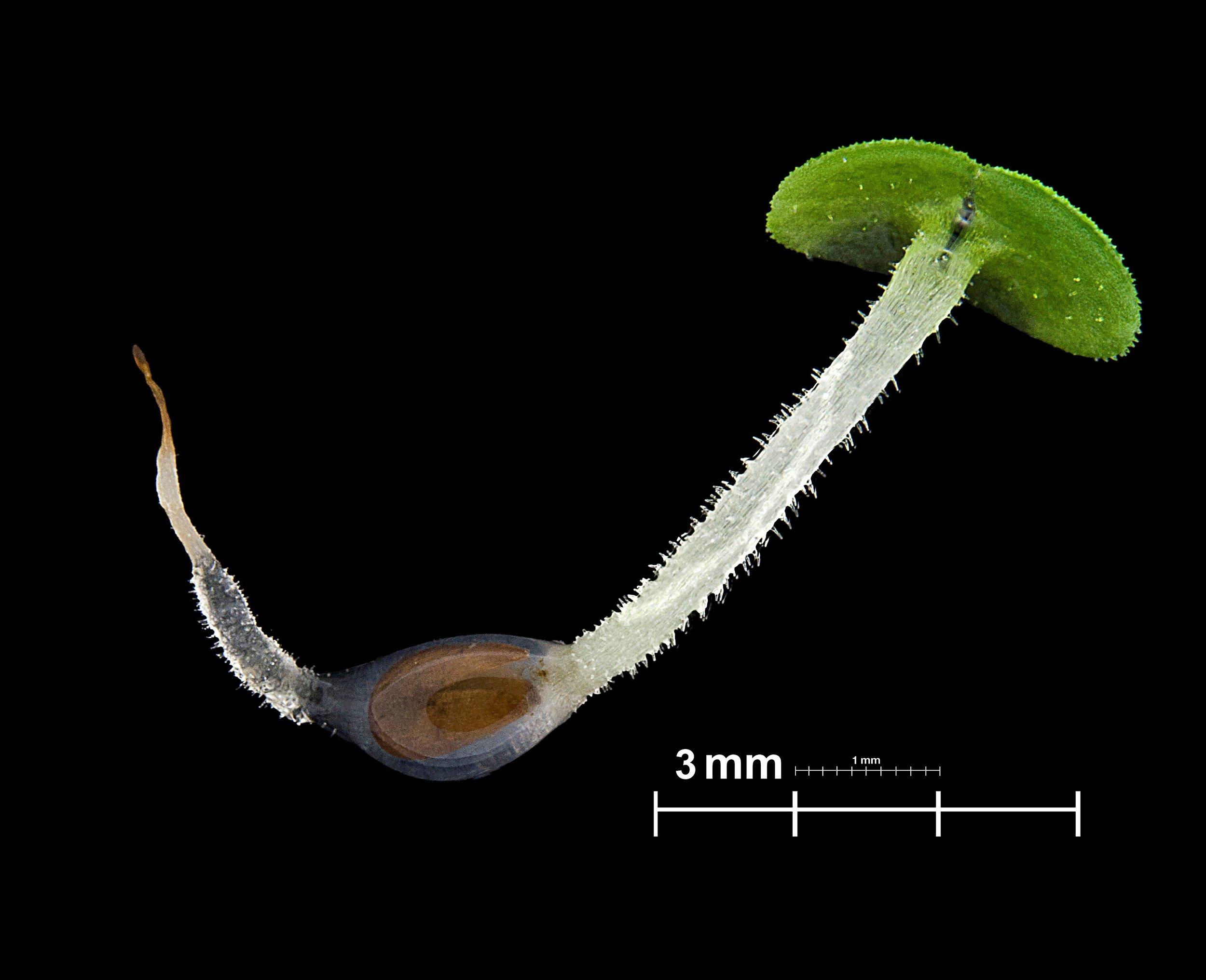 Successful germination of  Haumaniastrum robertii , a strict endemic of Cu-rich soils in Katanga.