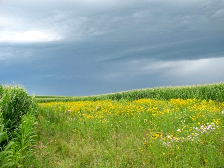 Figure 3. Prairie on Farm strips mitigate water and nutrient runoff on working agricultural fields while providing much needed pollinator and wildlife habitat.