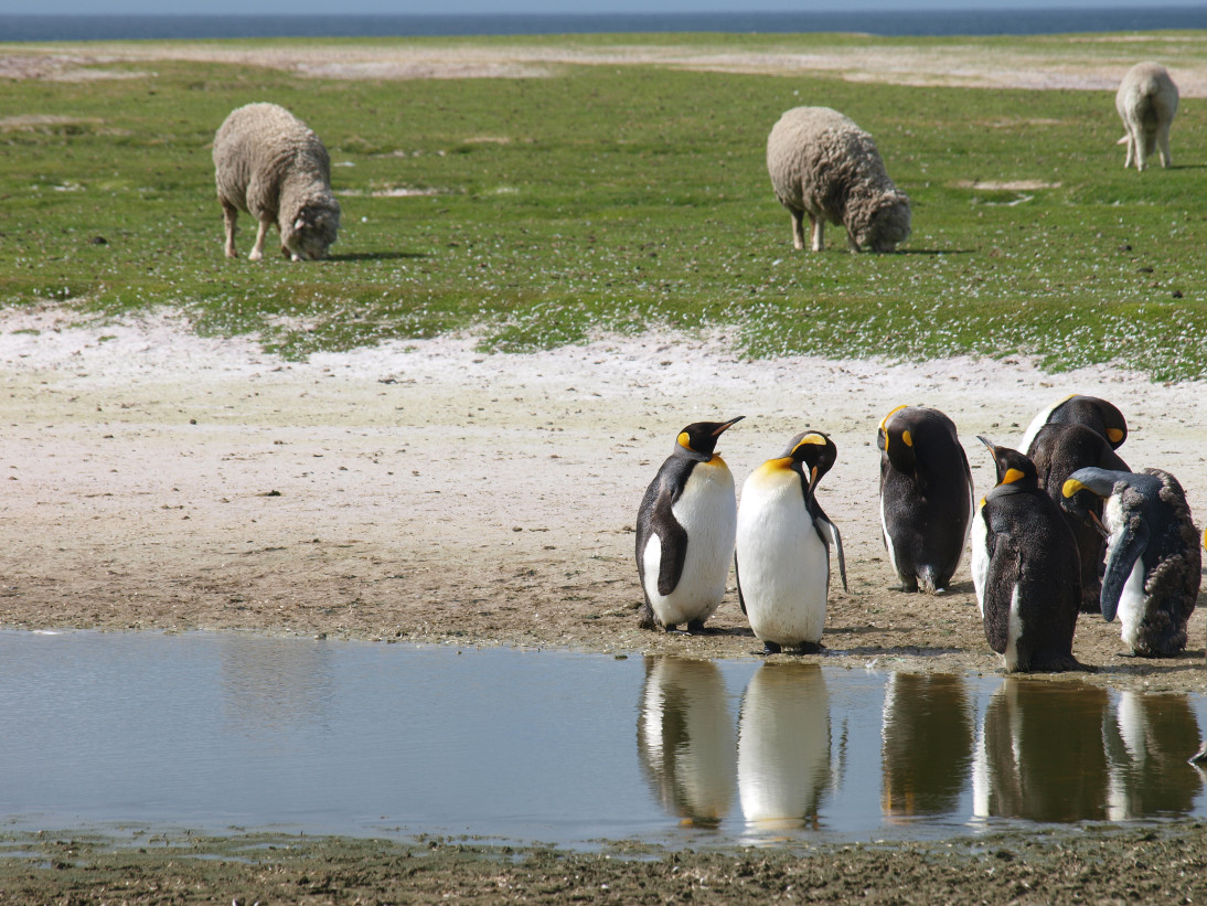 Extensive sheep farming in the Falklands: there are half a million sheep, and one million penguins! Photograph: A Baylis