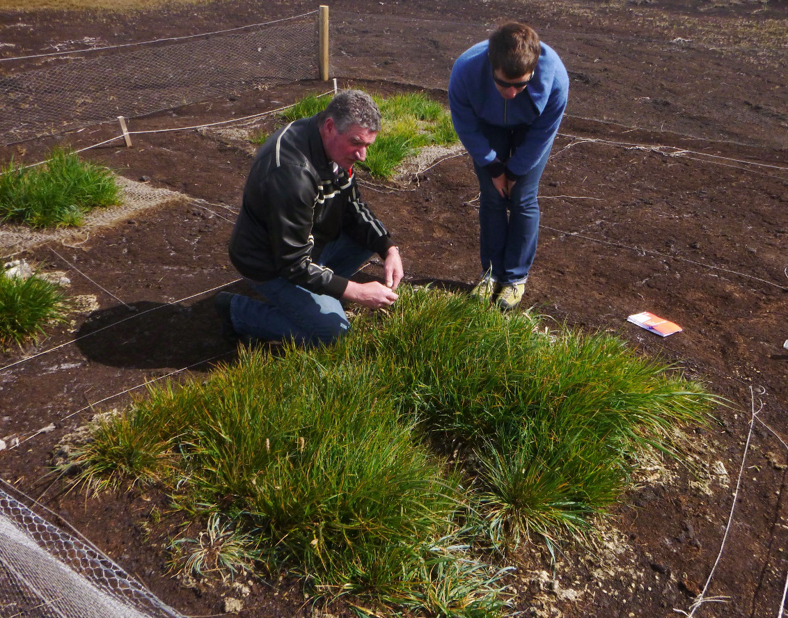 Native plant seeds growing on eroded peaty soil treated with sheep manure and dags. Photograph: Falklands Conservation.