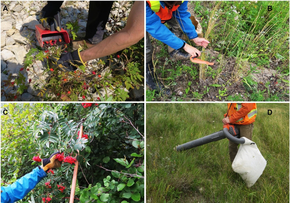 Figure 2 . Simple hand tools such as A) the berry rake, B) scissors, C) pole with a terminal rubber hook, and D) a reverse leaf blower can increase collection rates and the comfort of the collector.