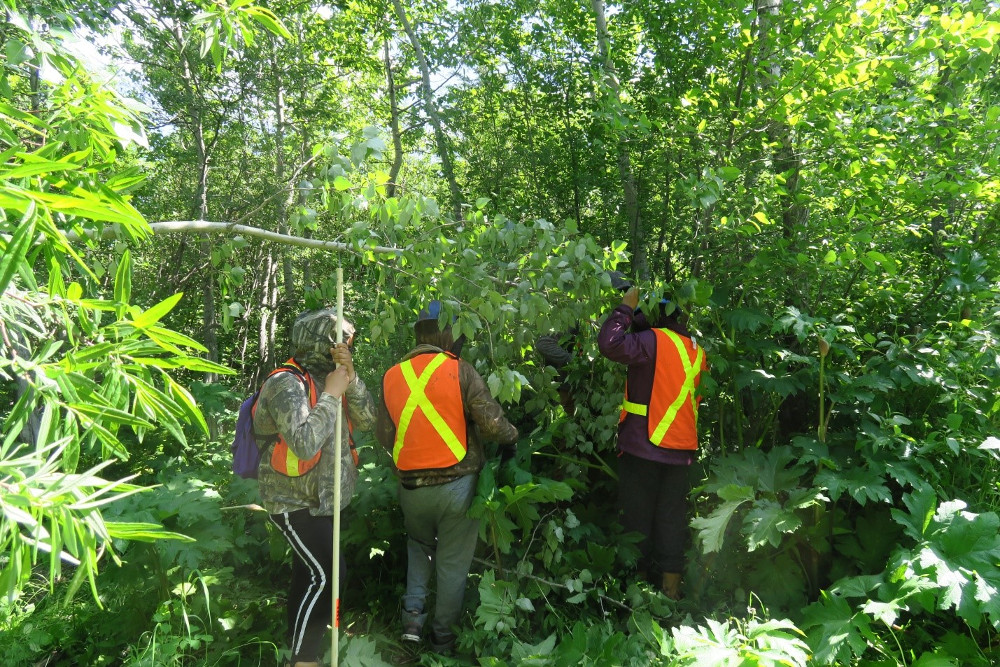 Figure 5 . Youth seed collectors in Attawapiskat First Nation, collecting catkins from a balsam poplar tree using a pole with a hook and hand's free collection containers.