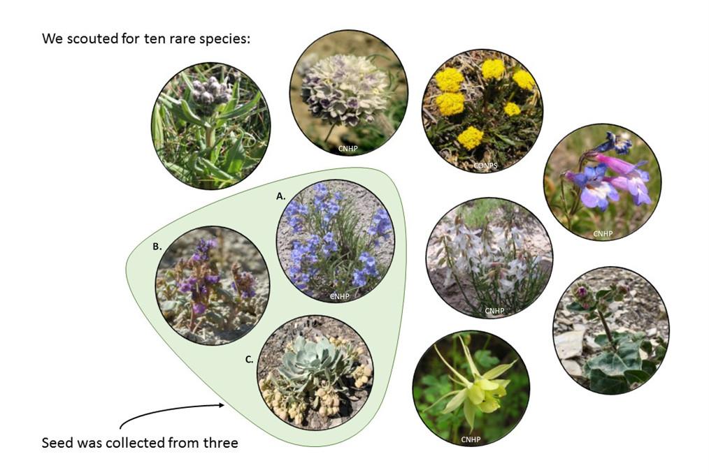 Figure 2. Species scouted and collected in 2017. Left to right, top row:  Saussurea weberi, Ipomopsis globularis, Aletes humilis, Penstemon degeneri . Middle row:  Phacelia gina-glenneae, Penstemon penlandii, Astragalus osterhoutii.  Bottom row:  Physaria bellii, Aquilegia chrysantha  var . rydbergii, Mirabilis rotundifolia.