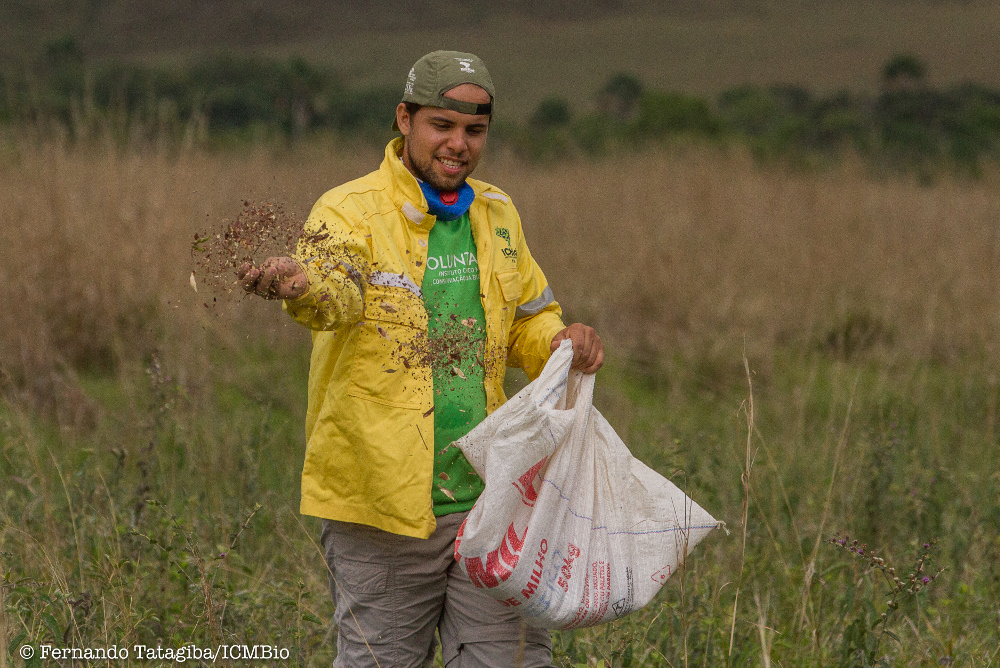 Efforts to restore the Cerrado include broadcasting seeds to add additional species to an established grassland.