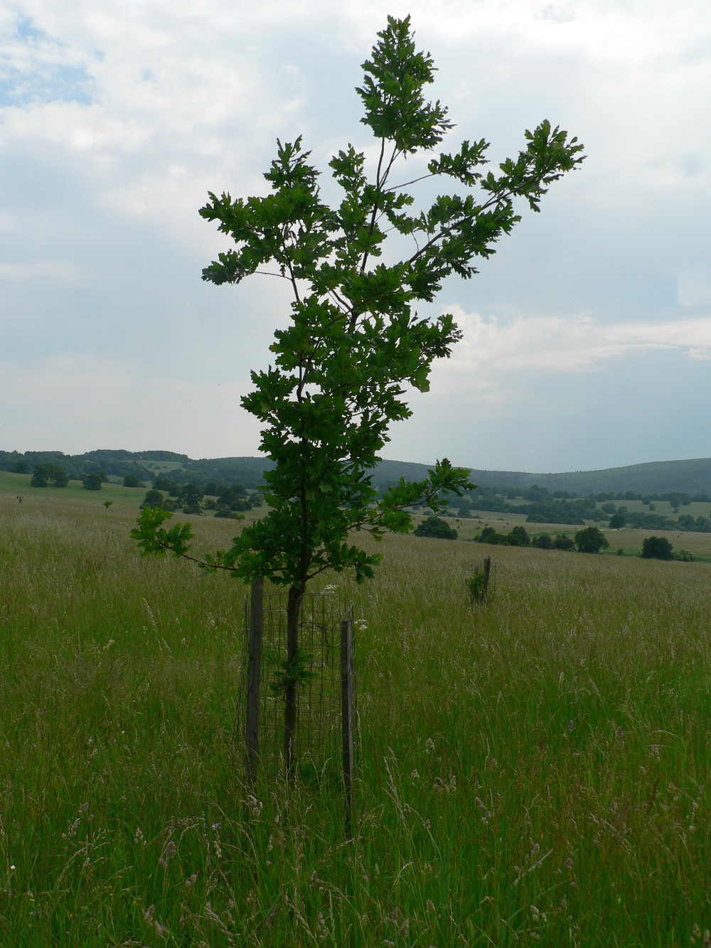 Fig. 9.  Plantings of solitary trees at a regrassed site in the buffer zone of Čertoryje National Nature Reserve. (I. Jongepierová)