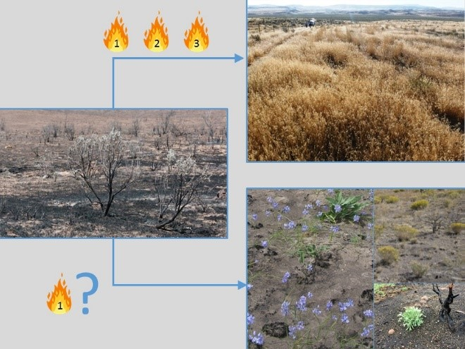 Figure 1.  Diagram of possible shifts in community composition following disturbance of sagebrush steppe plant communities. Repeated and frequent disturbance can shift communities toward monocultures of introduced species, which typically require active restoration; whereas, community changes resulting from less frequent disturbance likely vary with existing soil seed bank potential.