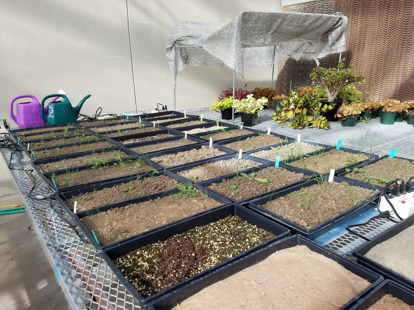 Soil seed bank samples growing in the CSU Plant Grown Facilities in November 2017