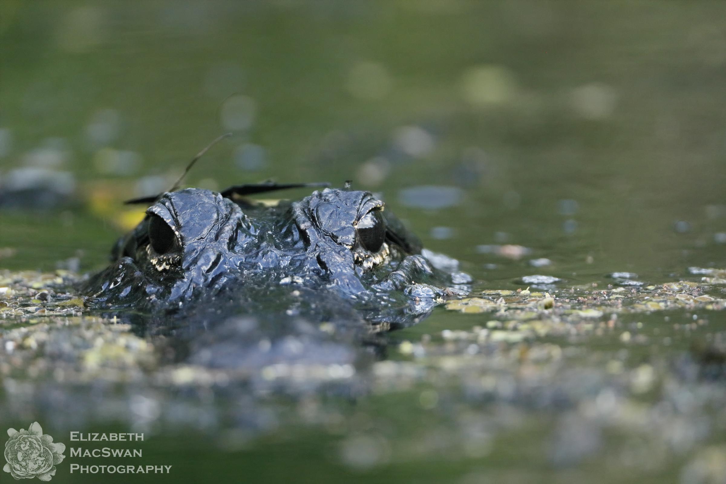 Hey Alligator