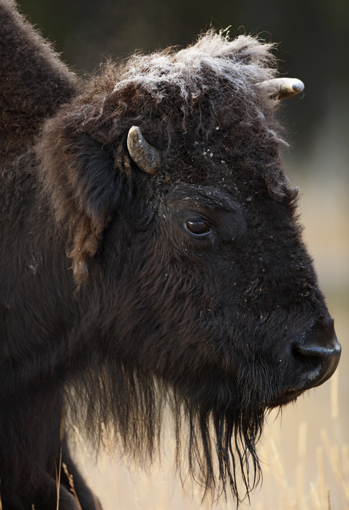 A Frosty Bison Profile
