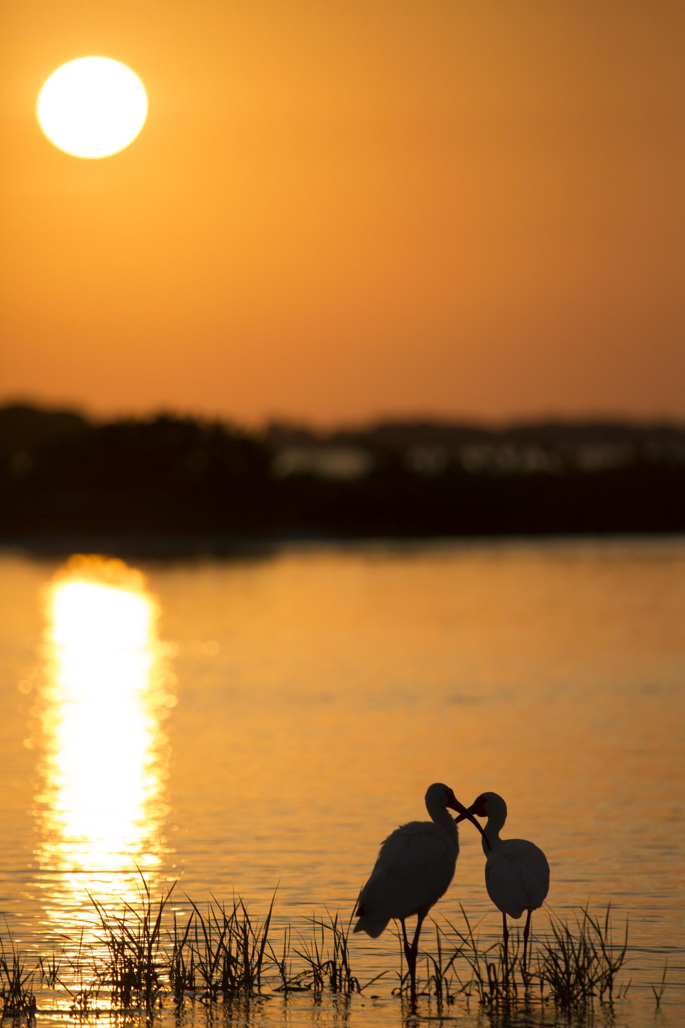 White Ibis In Love